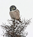 Northern Hawk Owl 6435