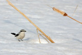 Northern Shrike 7800