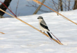 Northern Shrike 7787