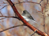 Dark-eyed Junco 8132