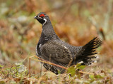 Spruce Grouse - NRF WI Trip - May 2014