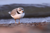 Piping Plover 1732