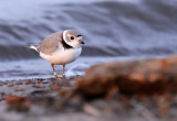 Piping Plover 1729