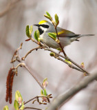 Golden-winged Warbler 8687