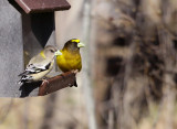 Evening Grosbeaks 0310