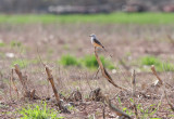 Scissor-tailed Flycatcher - May 2014