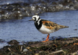 Ruddy Turnstone 2091