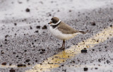 Semipalmated Plover 2305