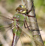 Common Green Darner 2125