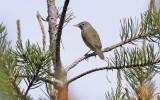 Connecticut Warbler 2744