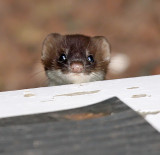 Baby Short-tailed Weasel