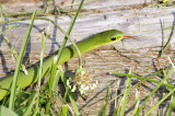 Smooth Green Snake 6245