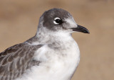 Franklin's Gull 6988