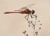 Saffron-winged Meadowhawk_7580