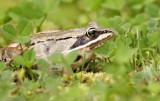 Wood Frog 7826