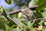 Least Flycatcher 7974