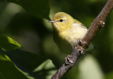 Tennessee Warbler 8209