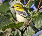 Black-throated Green Warbler 8275