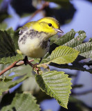 Black-throated Green Warbler 8291