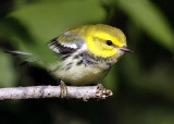 Black-throated Green Warbler 8566