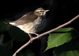 Northern Waterthrush 8649