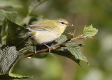 Tennessee Warbler 8581