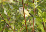 Orange-crowned Warbler 8947