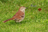 Brown Thrasher 9122