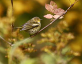 Cape May Warbler 9213