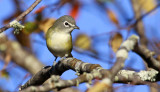 Blue-headed Vireo 9304