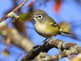 Blue-headed Vireo 9302