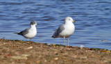 Franklin's Gull 9465