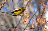 Evening Grosbeak 0564