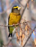 Evening Grosbeak 0571