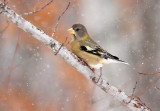 Evening Grosbeak 1125