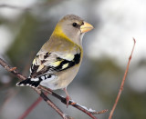 Evening Grosbeak 1430
