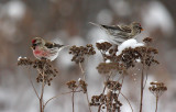 Common Redpoll 1505