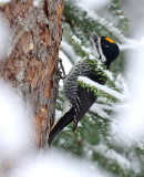 Black-backed Woodpecker 1692
