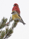 Red Crossbills - Jan 2015