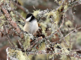 Black-capped Chickadee 3887