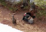 Wild Turkey_3856.jpg