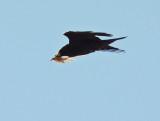 Common Raven_3636.jpg