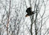 Common Raven_3637.jpg