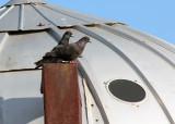 Rock Pigeons_4984.jpg