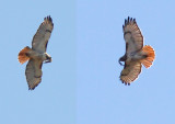 Red-tailed Hawk (composite)