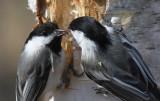 Black-capped Chickadees at nest cavity