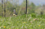 Western Kingbird - May 2015
