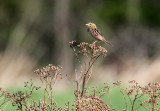 Henslow's Sparrow_1682