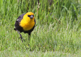 Yellow-headed Blackbird - May 2015
