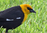 Yellow-headed Blackbird_1802.jpg